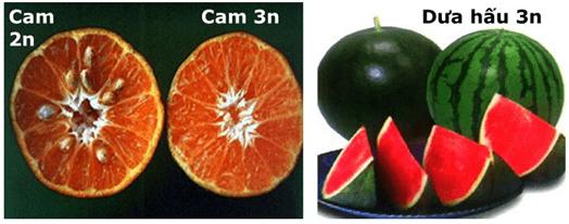 Lý thuyết Sinh học 9 Bài 24: Đột biến số lượng nhiễm sắc thể tiếp theo hay, chi tiết