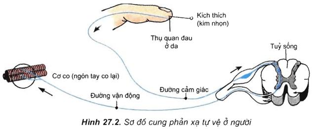Lý thuyết Sinh học 11 Bài 26: Cảm ứng ở động vật   Lý thuyết Sinh học 11 đầy đủ, chi tiết nhất