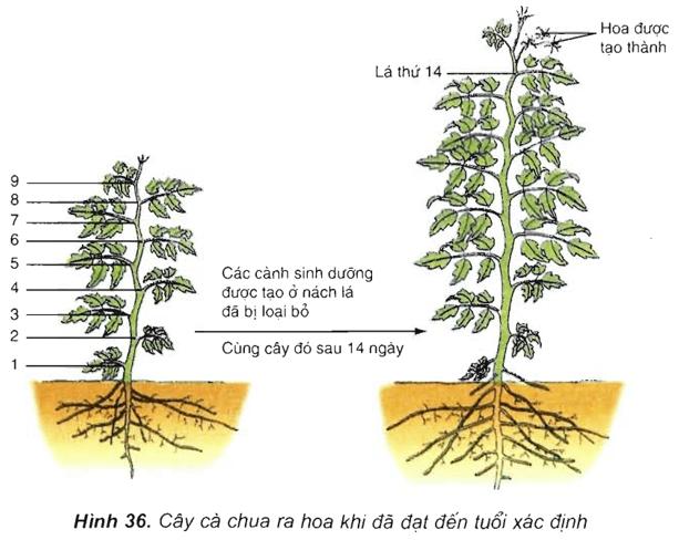 Lý thuyết Sinh học 11 Bài 36: Phát triển ở thực vật có hoa | Lý thuyết Sinh học 11 đầy đủ, chi tiết nhất