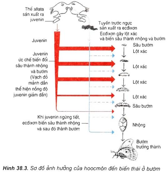 Lý thuyết Sinh học 11 Bài 38: Các nhân tố ảnh hưởng đến sinh trưởng và phát triển ở động vật | Lý thuyết Sinh học 11 đầy đủ, chi tiết nhất