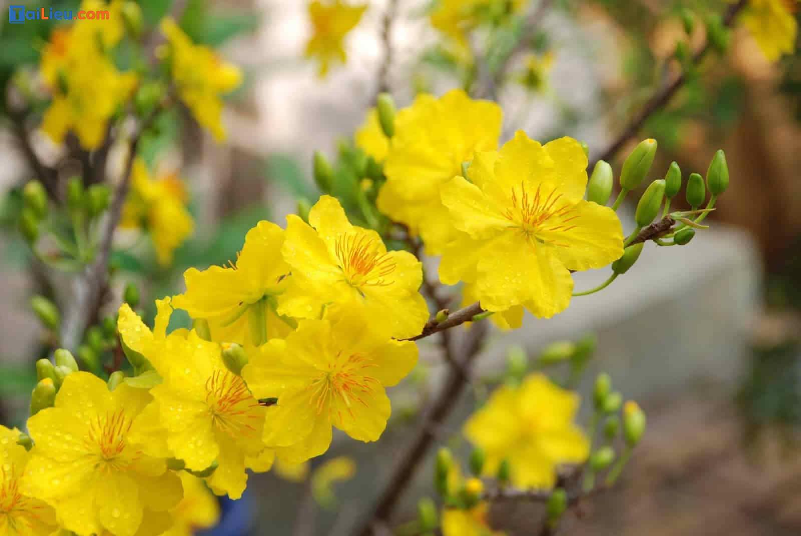 Tả cây hoa mai văn lớp 4